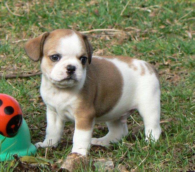 1 EDDIE Pup 1 - 6 weeks